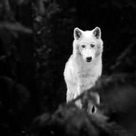 Bílá krása v temném lese