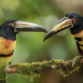 Arassari obojkový (Pteroglossus torquatus) Collared Aracari