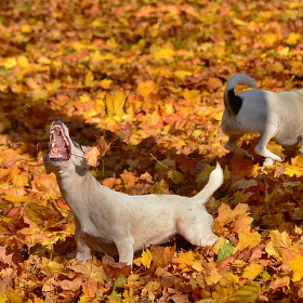 psia jeseň