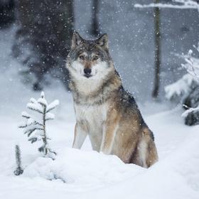 Sněžný vlk