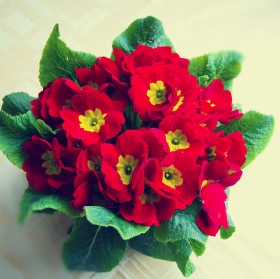 Primula,petrkíč (prvosenka bezlodyžná)