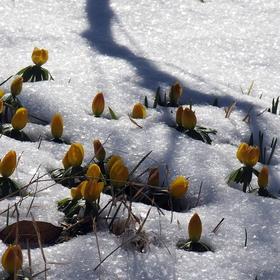 Rozkvetlá sněhová peřina