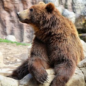 Medvěd kamčatský