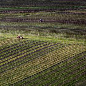 Práce na vinici