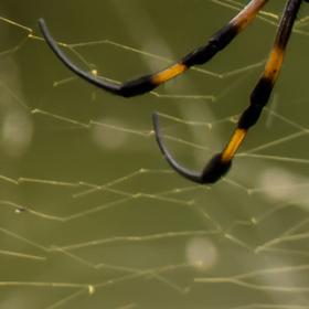 Nephila inaurata