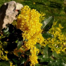 MAHÓNIA CEZMÍNOLISTÁ II. /Mahonia aquifolium/