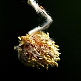Když buky kvetou....