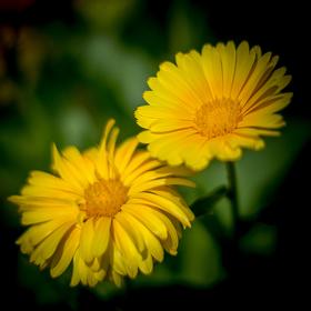 Žluté kvítí