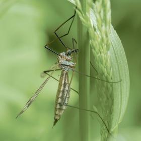 Tiplice - Tipula