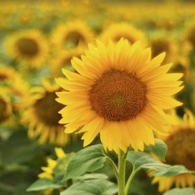 Tak jako slunečnice každým dnem, otáčím se za sluncem...
