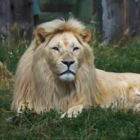 lev jihoafrický