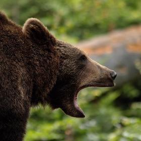 Řev medvěda hnědého