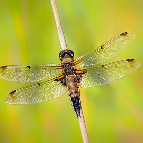 Vážka čtyřskvrnná - holka