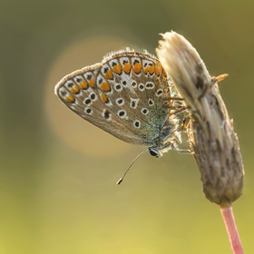 Modrásek jehlicový - samička