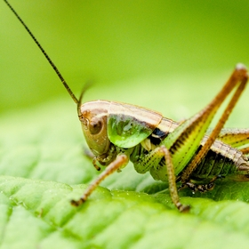 Kobylka luční - Roeseliana roeselii