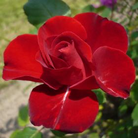 královna květin