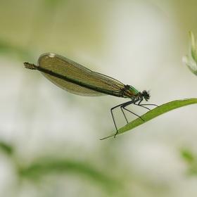 Motýlice lesklá, holka
