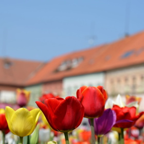 Tulipány v Poděbradech