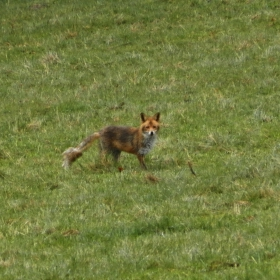 Liška s prašivinou