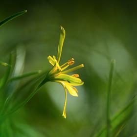 Křivatec luční (Gagea pratensis)