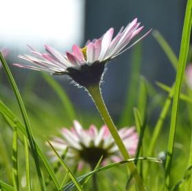 Sedmikráska chudobka sedící v trávě.