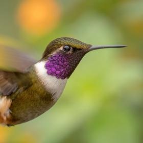 Kolibřík Mitchellův (Calliphlox mitchellii) Purple-throated woodstar