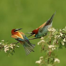 Vlha pestrá (Merops apiaster) , kdo je samička je snad jasné!!!!!!!!
