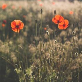 """""""Ráno v trávě vlčí mák se červená"""""""