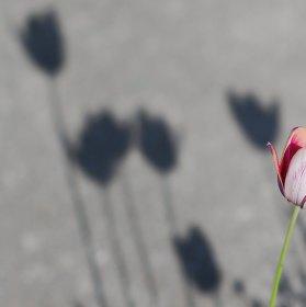 Tulipány...