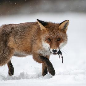 Liška po úspěšném zimním lovu