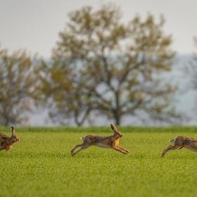 Studie pohybu zajíce
