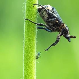 Křivonožec dohlíží zda mravenec správně pase mšice