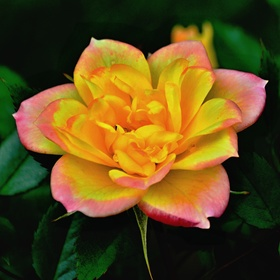 Barevná růže