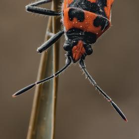Vroubenka červená (Corizus hyoscyami)