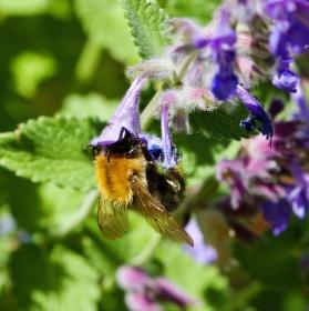 Včela na pastvě