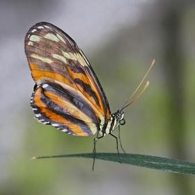 Lycorea halia cleobaea