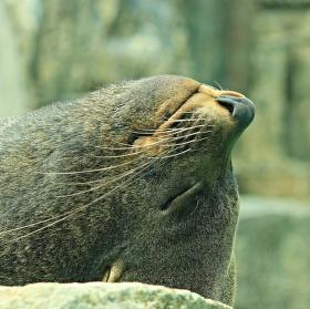 Lachtaní siesta
