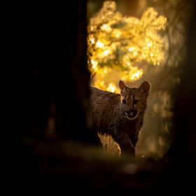 Puma americká (aranžované fotografování)