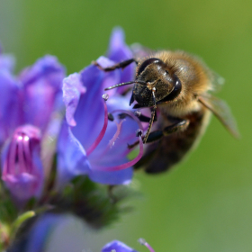 Včelí opylování