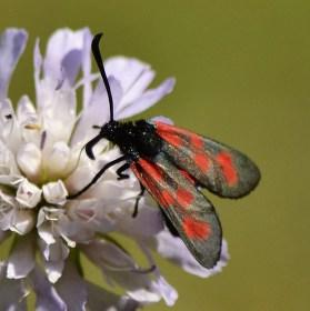 Vřetenuška obecná (Zygaena filipendulae).