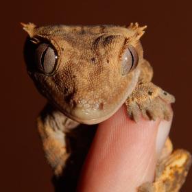 Pagekon řasnatý -  (Rhacodactylus ciliatus)