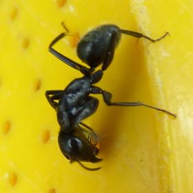 mravcek