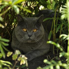 Kočká domácí, chvílemi divoká