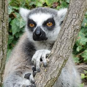 Lemur zvědavěc