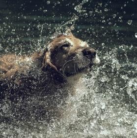 Pes vodní