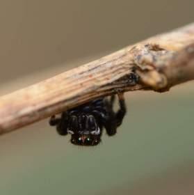 černá skákavka čeká na kořist