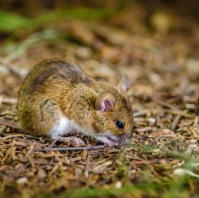 Myšák Forest little