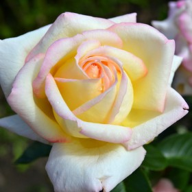Plačící růže