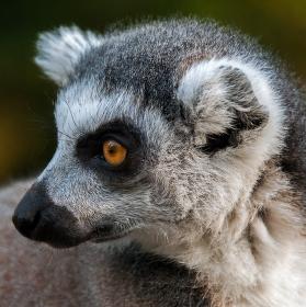Lemur