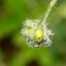 Pavouček květ